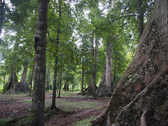 Kenari tree on Banda Besar (mulderlis) Tags: tree indonesia banda boom indonesie maluku nutmeg kenari molukken bandabesar nootmuskaat
