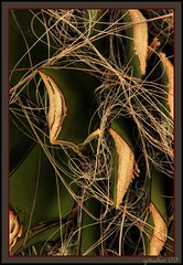 Chopped Catus (the Gallopping Geezer 3.8 million + views....) Tags: cactus plant canon growth chopped geezer corel
