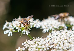 J77A7049 -- Insect on white flower (Nils Axel Braathen) Tags: soe specinsect mygearandme mygearandmepremium mygearandmebronze mygearandmesilver mygearandmegold ringexcellence photographyforrecreationeliteclub photographyforrecreationclassic