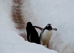 Let me past (ericy202) Tags: snow penguin gentoo december path antarctica 2006 wildpenguin