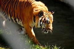 Tigre de Bengala (Fabiana Berssanetti) Tags: wild zoo tiger natureza lion felinos felino jaguar tigre leo selvagem onapintada