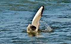 fish snack ... (miriam259) Tags: nature mare seagull liguria gabbiano gennaio sestrilevante nikond3200 vision:beach=0673 vision:outdoor=0979 vision:sky=0715