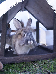 lionhead rabbit (Meg Halton) Tags: rescue rabbit bunny animal photography guinea rabbits lapin littlest lapins bunnyrabbit 400d meghalton vision:outdoor=0955