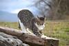 Giuditta. Explore (Polda2 (Sabrina)) Tags: cats animal animals cat nikon feline chat gatos gato felino felini gatto gatti animali impressedbeauty