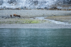 _MG_4219a (markbyzewski) Tags: alaska cub ugly brownbear grizzlybear glacierbaynationalpark