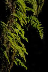 ferns (markvcr) Tags: fern tree green maple rainforest pacificnorthwest seymour