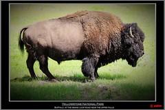 Yellowstone National Park (pharoahsax) Tags: world park usa get colors yellow stone canon buffalo northwest basin upper national yellowstonenationalpark grotto yellowstone wyoming np geyser bison geysir 2012 büffel nordwesten 5dmk3 5d3 pmbvw canon5d3 usa2012 worldgetcolors