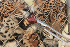 Hungrier of the Two (Chicago John) Tags: world park cats oregon great junction cave jaguar greatcatsworldpark cavejnction