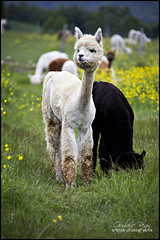 Sweetie Alpaca (Guylaine Begin) Tags: summer portrait canada alpaca nature field an