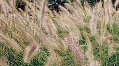 (mahler9) Tags: cambridge reeds weeds jaym northpointpark mahler9