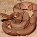 Agkistrodon contortrix (Copperhead)