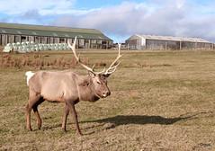 A North American (Orkney-Resident) Elk (orquil) Tags: uk male field parish islands march scotland spring orkney antlers elk holm canadensis northamerican cervus