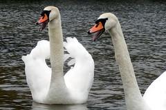 schwne meckern (lockenkopf) Tags: swans auesee schwne