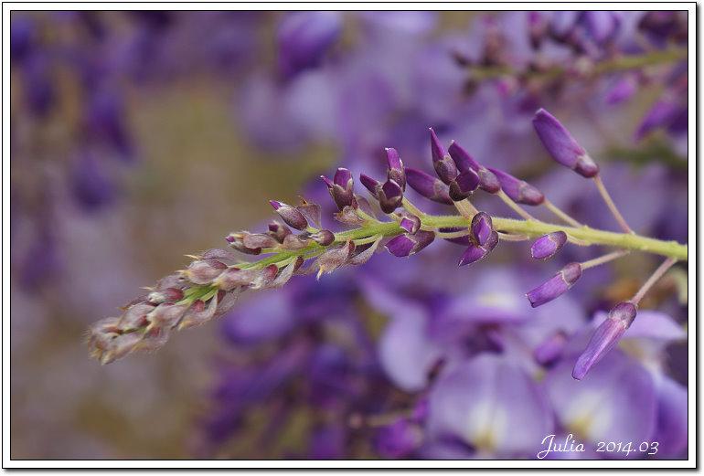 紫藤、老梅 (14)