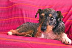¿En serio?...¿ya se acabó la salida? (Kätzchen ) Tags: dog pet grancanaria perro mascota laspalmas islascanarias rufo canaryisland laspalmasdegrancanaria käztchen myriamguerralopez myriamguerra77