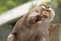 Pig Tailed Macaque Catching Motion(돼지꼬리원숭이 잡는 동작) (Synghan) Tags: park wild motion colour macro nature animal animals japan horizontal canon lens outdoors photography eos japanese rebel zoo monkey pig living kiss image zoom outdoor wildlife south tail sigma korea images apo catching seoul childrens catch monkeys 70300mm tailed dg 456 macaque t3i 서울 x5 70300 organism behaviour zoological 어린이대공원 fragility 600d f456 대공원 원숭이 어린이 일본원숭이