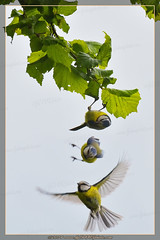 Le lcher / The release (lgDAMSphoto) Tags: blue tree bird nature photography photo leaf branch tit photographie image flight wing feather pic drop bleu montage passion vol burst sequence arbre oiseau feuille flipping assembly dams plume aile branche msange nestling squence rafale oisillon ruby3 photogrphe nikkor70300 nikoniste retournement pixelistes lcher nikond7000 lgdamsphoto wwwlgdamsphotocom