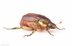 Anomala marginata (Nash Turley's nature photography) Tags: beetle coleoptera scarabaeidae anomalamarginata