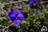 Fiore sulla Majella - Abruzzo - Italy
