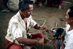 26-146 (ndpa / s. lundeen, archivist) Tags: people bali man color men bird film birds 35mm indonesia sitting 26 nick knife cock arena weapon southpacific handlers rooster cocks blade 1970s 1972 seated handler roosters indonesian cockfight gamecock gamecocks balinese dewolf oceania pacificislands cockfighting nickdewolf photographbynickdewolf cockfightingarena reel26 cockfightarena