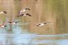_DSC1975.jpg (orig_lowolf) Tags: usa dog birds oregon nikon flickr sigma canadiangeese lakeoswego georgerogerspark d300s willimatteriver af150500mmf563apodgoshsm