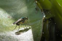 Slankpootvlieg (Deen Alex) Tags: dieren vlieg d7100 slankpootvlieg diereninsecten