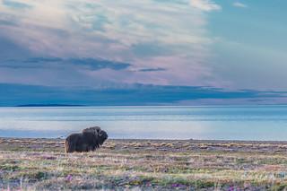 Lone Musk-ox in the sunrise