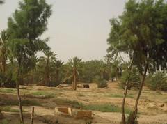 Thursday Colours - The Chergui in the Oasis (Pushapoze (MASA)) Tags: sahara palms oasis morocco maroc abaya palmiers womeninblack chergui femmesennoir