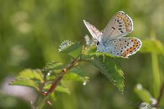 Plebejus argyrognomon (Sinkha63) Tags: france macro nature animal female butterfly wildlife lepidoptera papillon insecta lycaenidae drôme femelle rhônealpes polyommatinae plebejus azuré reverdinsblue plebejusargyrognomon polyommatini chapias azurédescoronilles