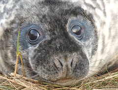 Grey Seal (Peanut1371) Tags: greyseal seal mammal eyes donnanook nationalgeographicwildlife