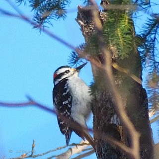 Pic mineur | Downy woodpecker ..