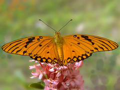 Agraulis vanillae (Rui Pará) Tags: agraulisvanillae agraulis vanillae butterfly borboleta bug bugs nature natureza flor flower abaetetuba pará brazil amazon love macro macrophotography