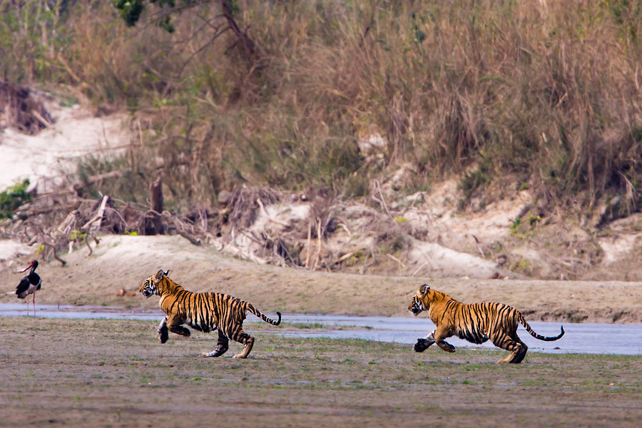 Two young tigers in Kanha National Park in India