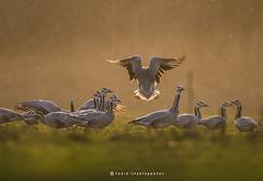 Landing gear On (T@hir'S Photography) Tags: nature outdoor travel getty pakistan sunset golden light good fly flying landing machine flockofbirds flock feather nikon d500 nikkor mist sialkot head marala barheadedgeese nonurbanscene misty