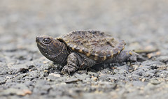 Hatchling (J Gilbert) Tags: newjersey snapping turtle common herp hatchling nwr greatswamp chelydraserpentina