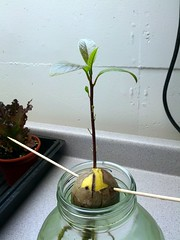 Avocado Seedling (tonyolm) Tags: avocado seedling