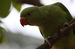 25-13 (Sathish K M) Tags: nature birds bangalore parakeet lalbagh birdsofindia