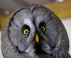 say what!!!! (ainerua) Tags: yellow canon grey eyes owl 60d
