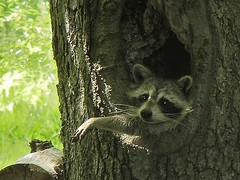 Mother Raccoon in NJ, USA (Cwyntella) Tags: usa tree newjersey wildlife mother nj raccoon