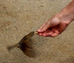 (Evelien Gerrits) Tags: food bird canon flying sand hand feeding eten vogel zand fliegen füttern vliegen gerrits canoneos600d eveliengerrits