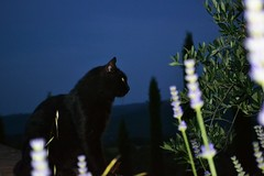 A cat and the mood for love (Sophia Cohen) Tags: blue black night cat dark landscape nikon grove olive lavender cypress 1855mm toscany d3100