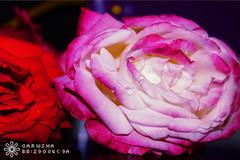 IMG_1176 (-Garwsha) Tags: ورود جمال الوان قطرات احمر جوري زهري