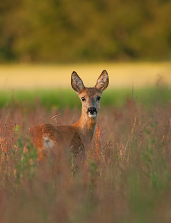 Roe deer doe