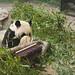 da mao the panda - toronto zoo - 14