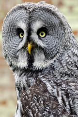 Great Grey Owl (n.j.coomber) Tags: nature birds interestingness interesting nikon wildlife bedfordshire greatgreyowl owl owls birdsofprey oldwarden stixnebulosa nikon105micro ilovemypics poilsetplumes nikond5100 batslair