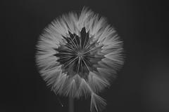 Dente-de-leão (taraxacum officinale)(6810) (Jorge Belim) Tags: flora flor pb dentedeleão canoneos50d