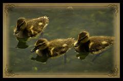 The Three Amigos (Brock Pauls) Tags: park baby amigos three duck pond nikon winnipeg ducklings pauls manitoba brock assiniboine d7000