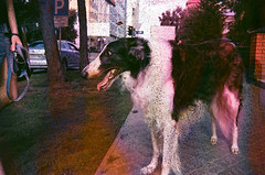 60730022 (Yulia Belochka) Tags: summer dog film soup russia siberia damaged russian novosibirsk borzoi soaked