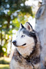 Teka (Gertrude139) Tags: blackandwhite dog husky siberianhusky eleven sibe bieyed arcticbreedrescue