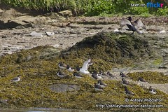 Cormorant & Oystercatchers (Ashley Middleton Photography) Tags: ocean county sea bird beach water animal rock river cornwall oystercatcher cormorant waders padstow rivercamel padstowbay sigma18200mmf3563dcos porthilly gannetscormorants padstowsealifesafaris